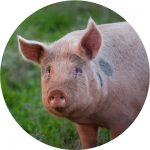 cochon plein air