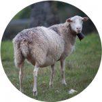 elevage mouton